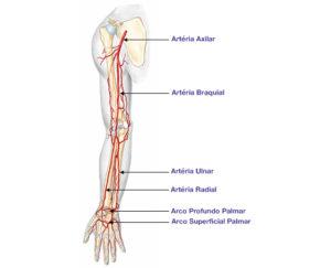 Artérias - Braço